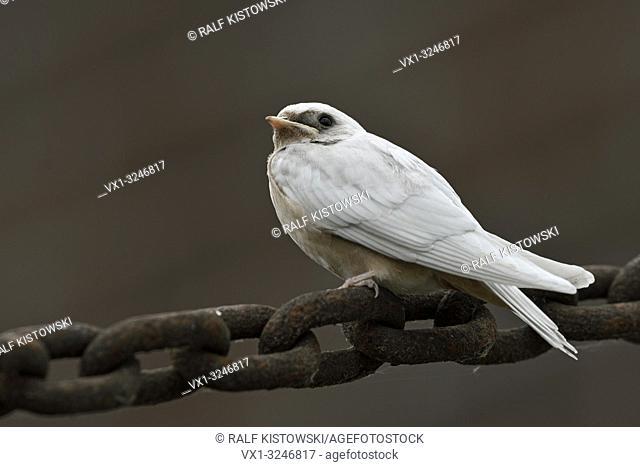 Barn Swallow / Rauchschwalbe ( Hirundo rustica ), young, pigment defect, white plumage, leucistic, leucism, perched on a massive chain, side view