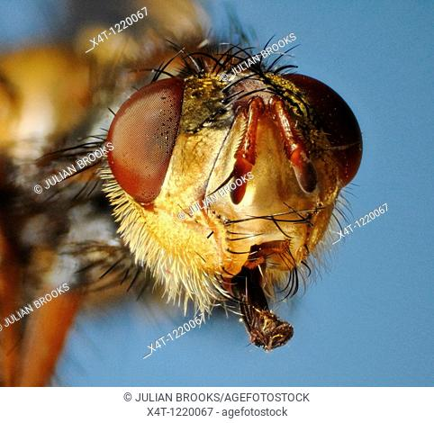 Extreme close up of the face of the fly Larvaevora fera, family Tachinidae, showing extended mouthparts