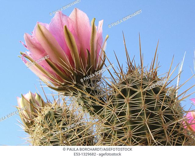 Hedgehog cactus Echinocereus  in bloom with pink flowers, Tucson, Arizona, USA
