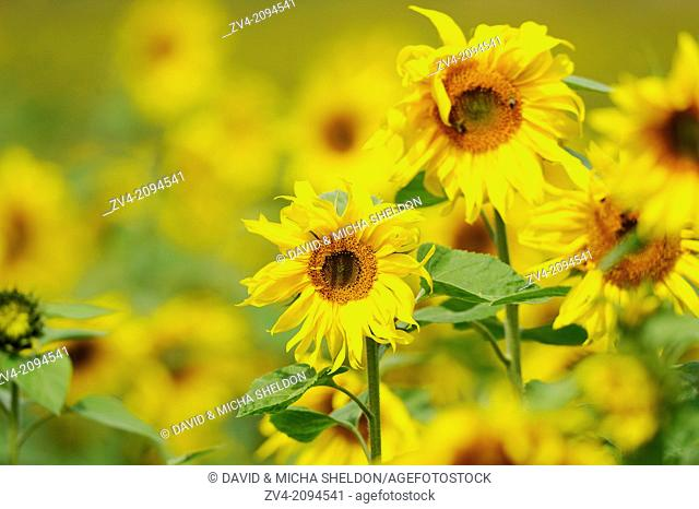 Close-up of two sunflowers in a sunflower field in Upper Palatinate, Germany