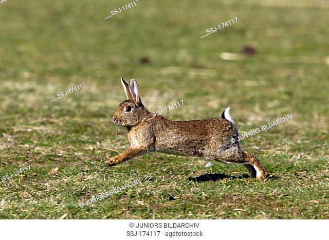 European Rabbit (Oryctolagus cuniculus). Adult running