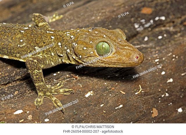 Green-eyed Gecko Gekko smithi adult, close-up of head, Sukau River, Sabah, Borneo, Malaysia