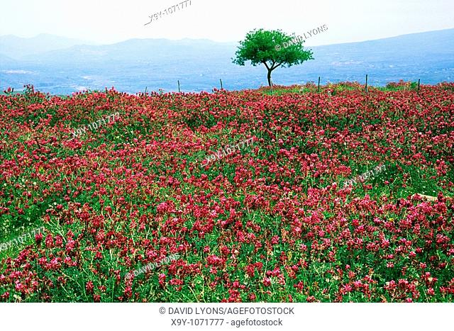 Italy Sicily wild flower landscape near Randazzo