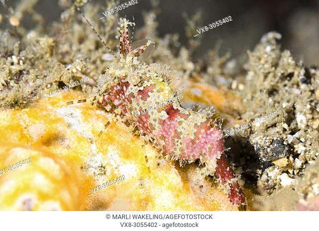 Marbled shrimp, Saron marmoratus, Lembeh Strait, North Sulawesi, Indonesia, Pacific