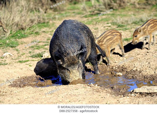 France, Haute Saone, Private park, Wild Boar Sus scrofa, sow with piglets drinking from a puddle