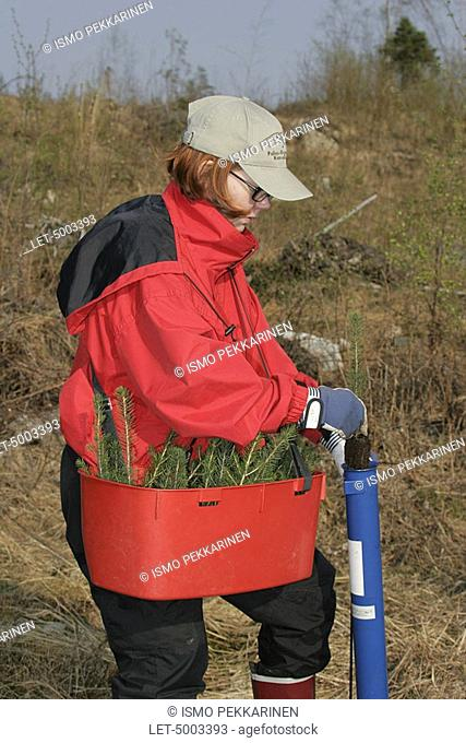 Planting spruce trees