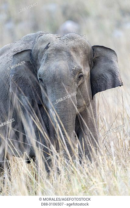 Asia, India, Uttarakhand, Jim Corbett National Park, Asian or Asiatic elephant (Elephas maximus), one animal in the grassland