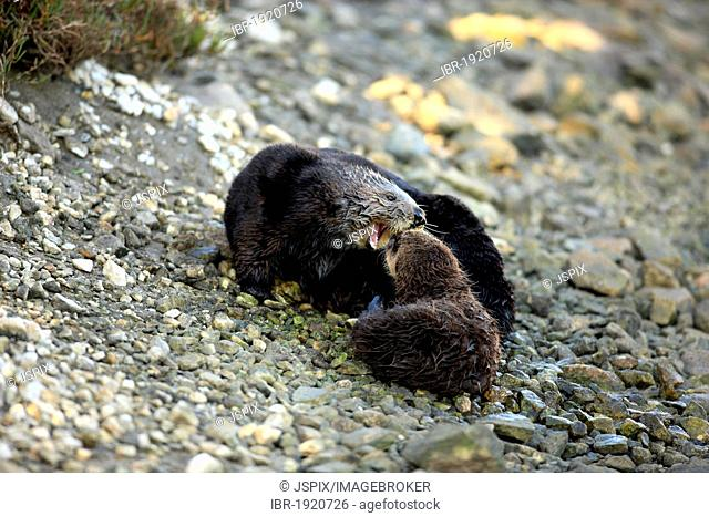 Sea otters (Enhydra lutris), female adult with young, Monterey, California, USA, America