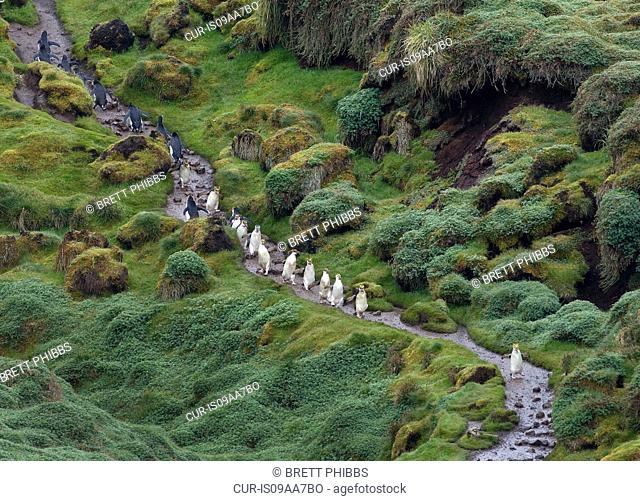 Royal penguins make their way up and down the trail, at the Royal penguin colony, at Sandy Bay, along the east coast of Macquarie Island, Southern Ocean