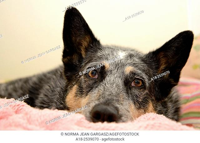 A Blue Heeler or Australian Cattle Dog contracted Valley Fever, coccidioidomycosis, in Tucson, Arizona, USA. Valley Fever is a disease caused by a fungus known...