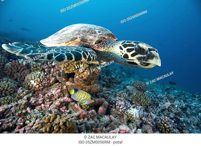 Hawksbill turtle swimming in coral