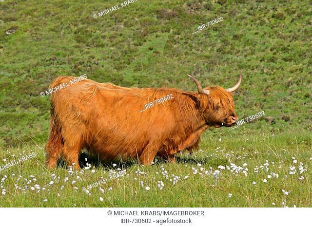 Highland Cattle (Bovinae), Isle of Skye, Scotland, UK