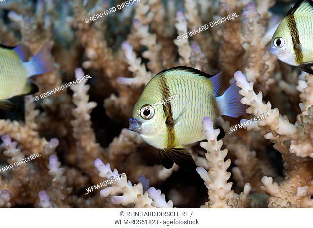 Reticulated Dascyllus, Dascyllus reticulatus, Namena Marine Reserve, Fiji