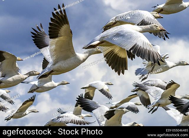 Many Snow Close Up Geese Flying Skagit Valley Washington