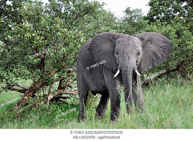 elephant, Moremi National Park, Botswana