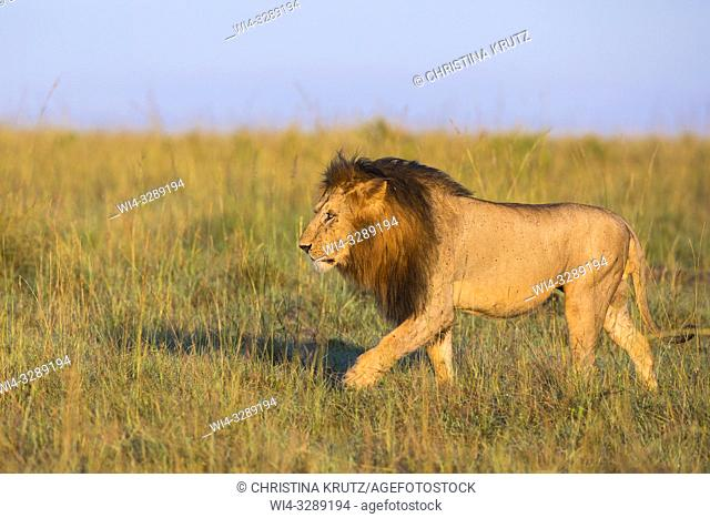 African Lion (Panthera leo), male walking in tall grass, Maasai Mara National Reserve, Kenya, Africa