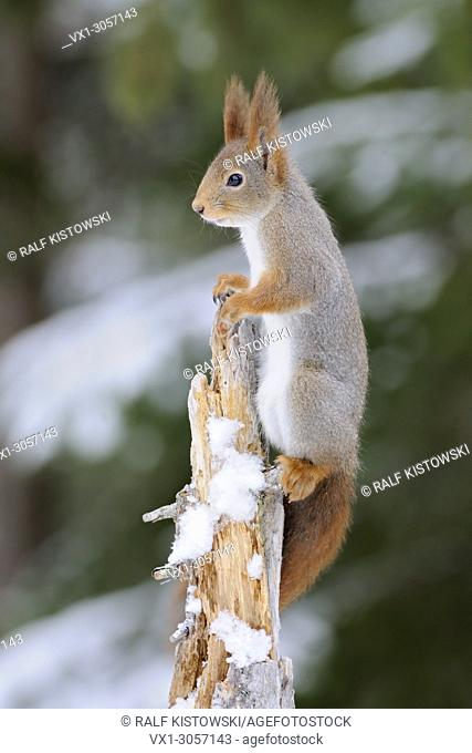 Red Squirrel ( Sciurus vulgaris ) climbing high up on a tree, watching, looks funny, in winter, wildlife, Europe