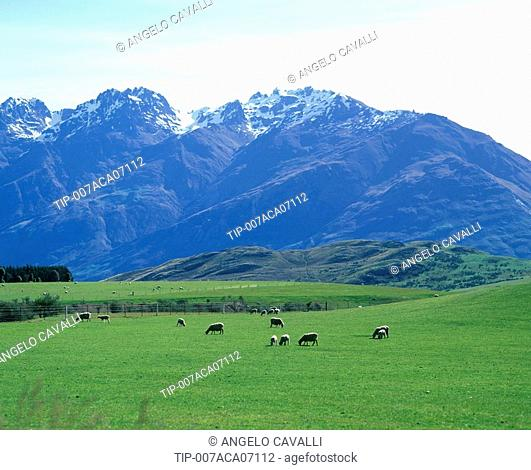 New Zealand, North Island,sheep grazing in field