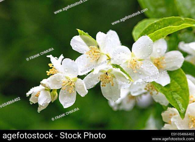 Closeup of Jasmine Flower at Blossom after Rain