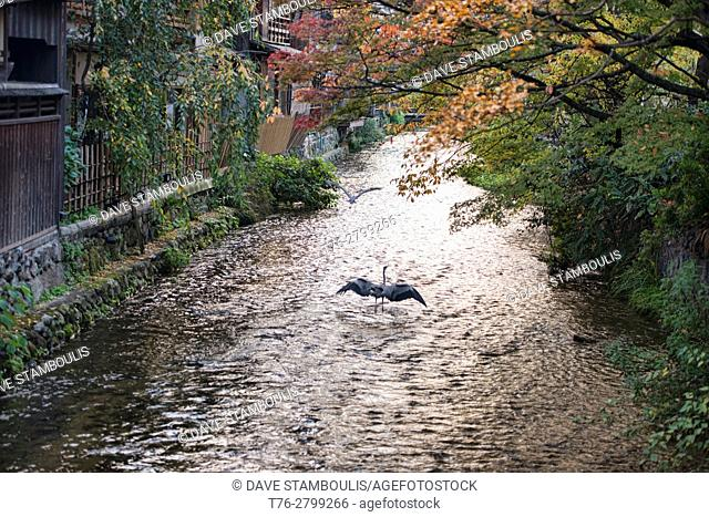 Cranes flying along the Shirakawa Canal in Shimbashi, Gion, Kyoto, Japan