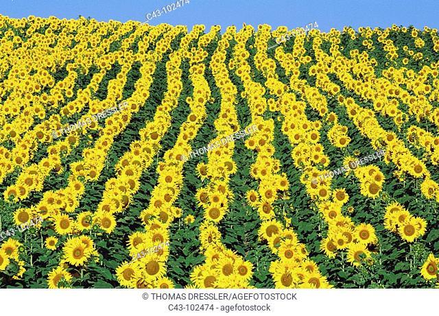 Sunflowers (Helianthus annuus). Cordoba province, Andalucia, Spain