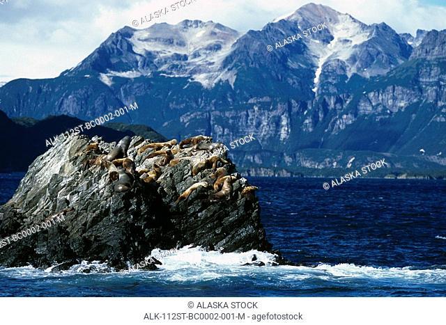 Steller Sealions on Haulout SW Alaska Summer Geographic Harbor