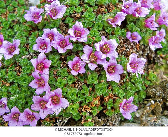 A close-up look at purple mountain saxifrage Saxifraga oppositifolia in the late springtime in southeast Alaska, USA  Pacific Ocean