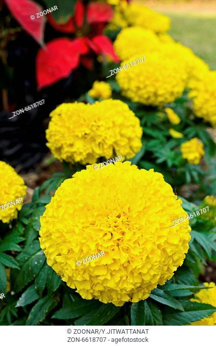 Yellow Marigold flower