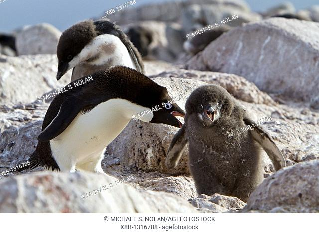 Adélie penguin Pygoscelis adeliae parents and chicks at red rock ridge below the Antarctic Circle on the Antarctic Peninsula