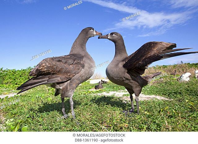 Hawaï , Midway , Sand Island , Black-footed Albatross  Phoebastria nigripes