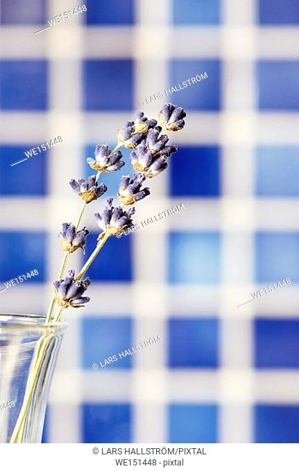 Lavender flowers in glass vase with blue background. Flower still life