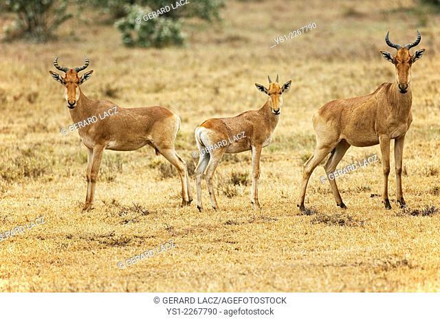 Hartebeest, alcelaphus buselaphus, Masai Mara Park in Kenya