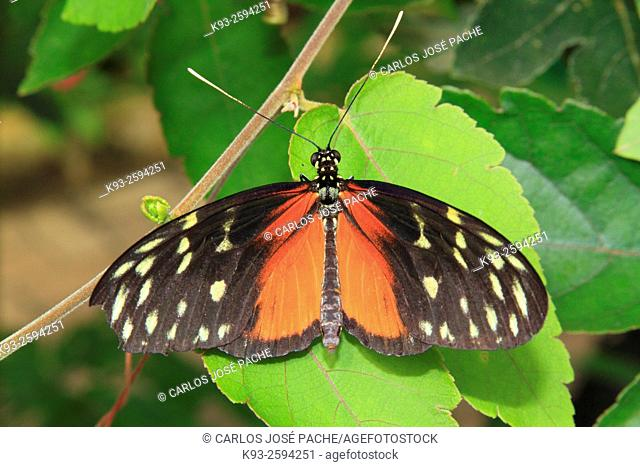 Isabella's Longwing (Eueides isabella), Costa Rica