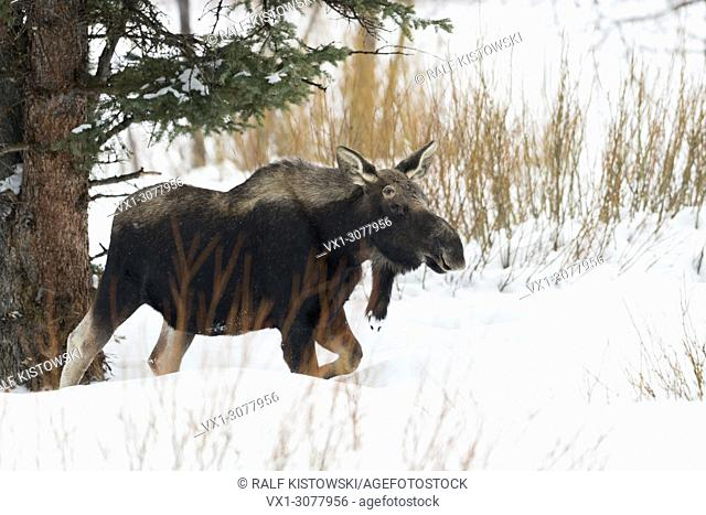 Moose ( Alces alces ), young bull in winter, shed antlers, walking through deep snow in its typical surrouding / habitat, Yellowstone area, Wyoming, USA