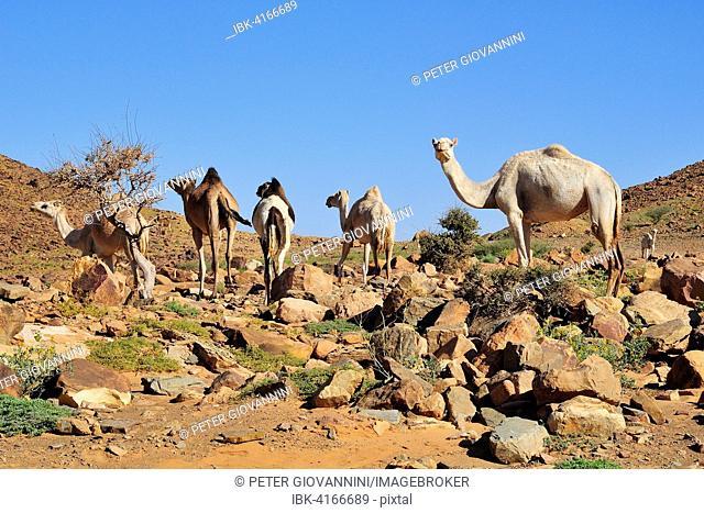 Dromedaries in the mountains at Amogjar pass, Atar, Adrar Region, Mauritania