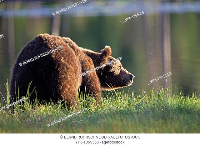 Brown Bear Ursus arctos standing on meadow at lakeshore, Finland