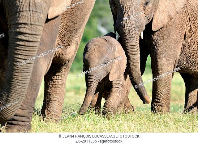 African elephants, mother, baby and calf, Addo Elephant National Park, Eastern Cape, South Africa