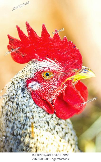 close-up of a rooster, algarve, portugal