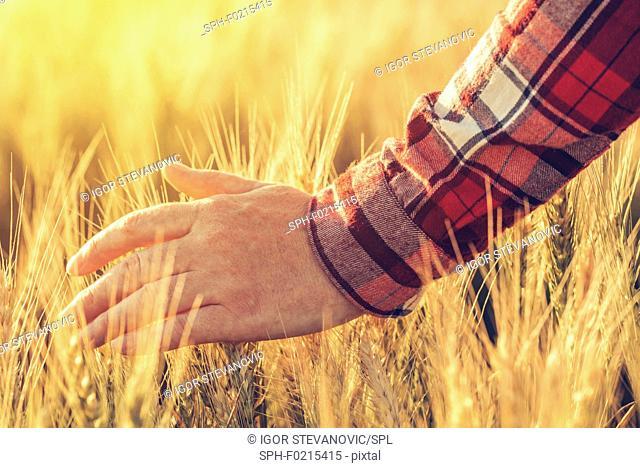Farmer touching wheat crop