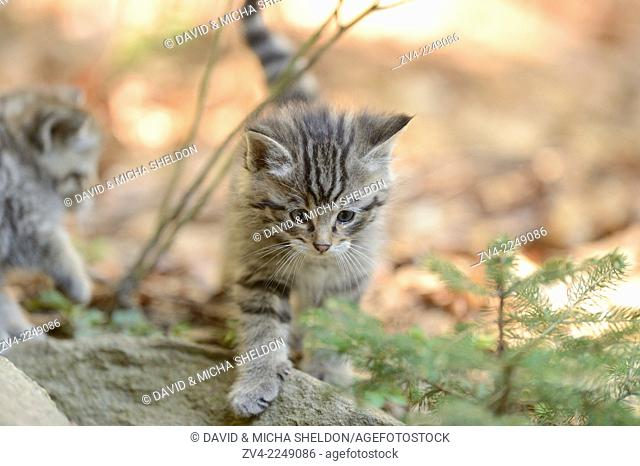 Close-up of a European wildcat (Felis silvestris silvestris) citten in a forest in spring