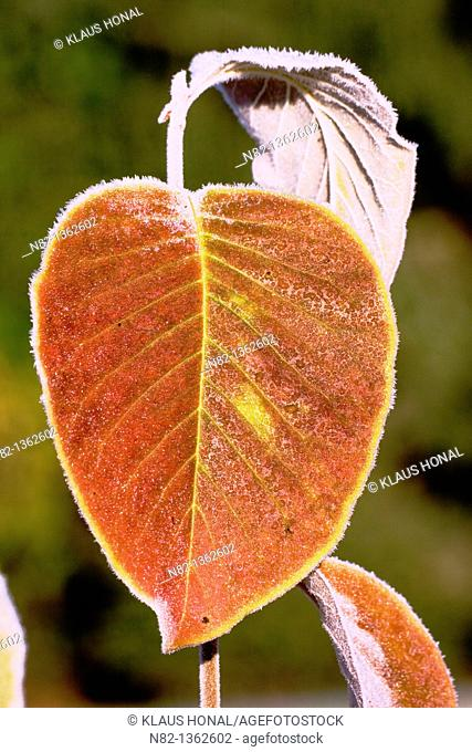 Autumn leaves covered with frost, Yulan Magnolie (Magnolia denudata) 'Yellow River' - Bavaria/Germany