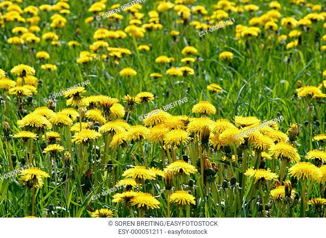 Common Dandelion (Taraxacum vulgare), with yellow flowers in grass field in spring
