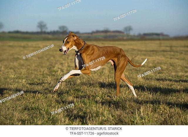 running sighthound