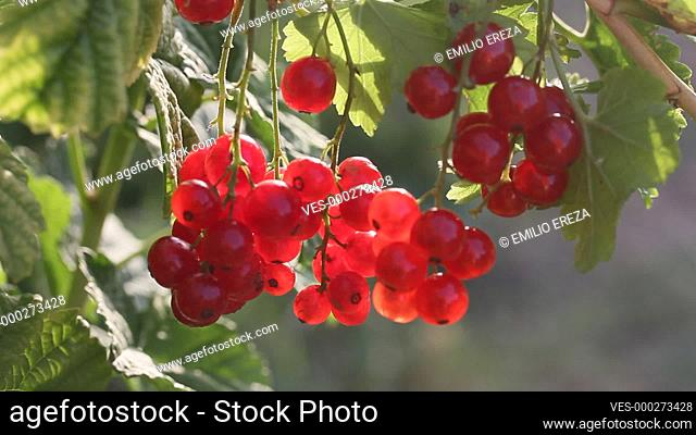 Red currants. Ribes rubrum