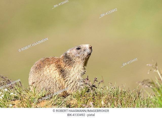Alpine Marmot (Marmota marmota), Tyrol, Austria