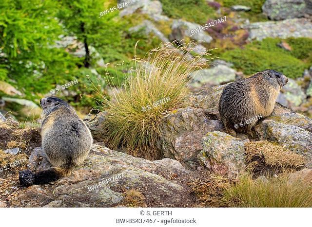 alpine marmot (Marmota marmota), two marmots at the den drying the fur after a rain shower, Switzerland, Valais