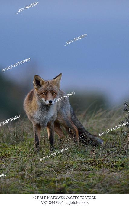 Red Fox / Rotfuchs ( Vulpes vulpes ) adult in open grassland, stands on top of a little hill, watching, carefully, nice surrounding and colours, at dawn