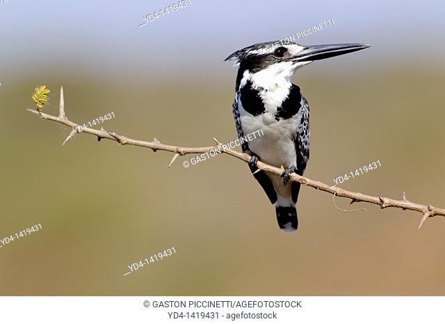 Pied Kingfisher Ceryle rudis, on the Camelthorn branch Acacia erioloba, Kruger National Park, South Africa