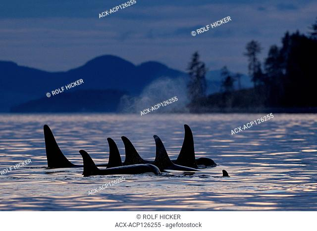 Northern resident killer whales (Orcinus orca) A24's and A36's in a tight resting line around Donegal Head, west of Blackfish Sound off Vancouver Island