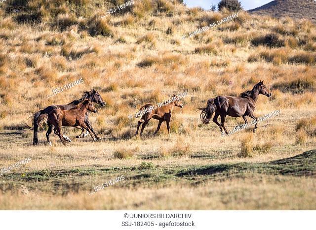 Kaimanawa Horse. Two wild mares with foals galloping on grassland. Kaimanawa Ranges Waiouru. New Zealand
